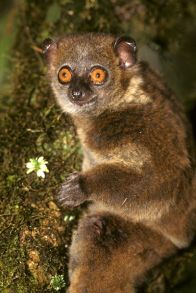 Lepilemur microdon, a Data Deficient lemur predicted to be at risk of extinction