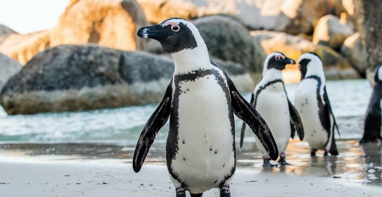african-penguin-1550x804